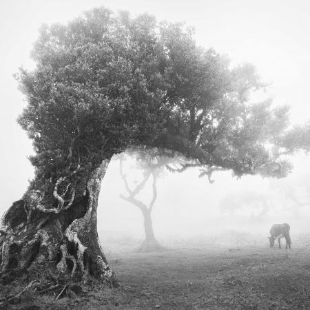 Stinkwood-tree-I-Ocotea-foetens
