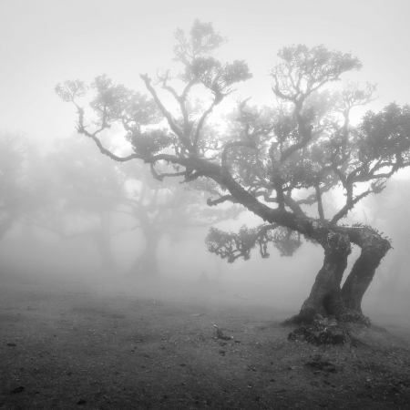 Stinkwood-tree-II