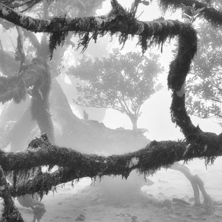 Stinkwood-tree-III