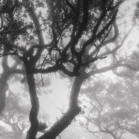 Stinkwood-tree-V
